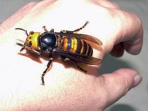 """Maior vespa do mundo: """"abelha"""" chifruda da Ásia"""