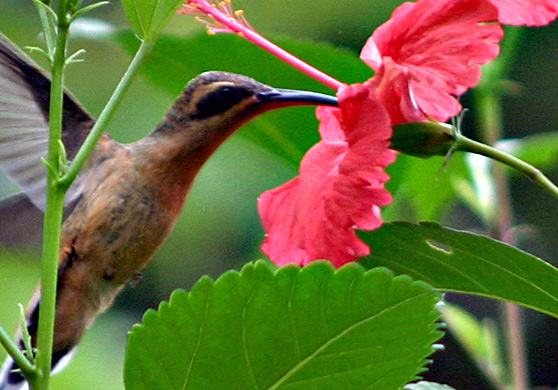 hummingbird-beija-flor-colibri