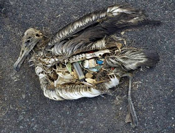 lixo-mares-albatroz-morto-plastico