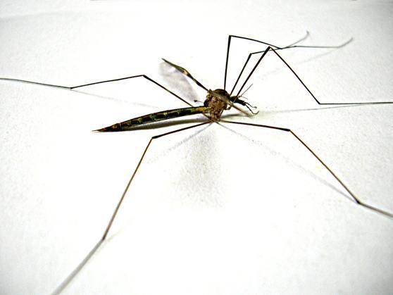 mosquito-transmissor-dengue-zika-aedes
