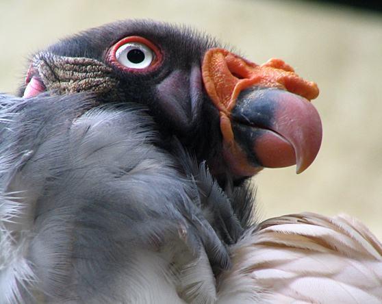 condore-voo-do-condor