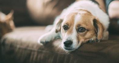 Anticoncepcional para cachorros coloca a vida do animal em risco